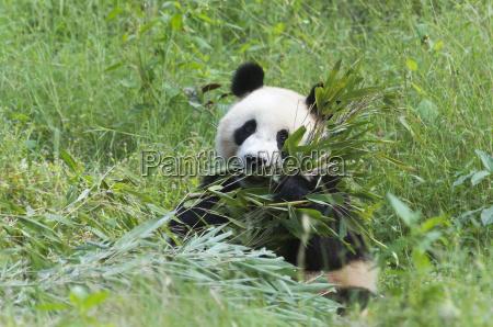 adult giant panda ailuropoda melanoleuca eating