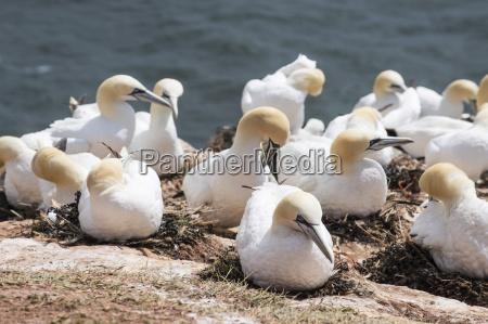 northern gannet morus bassanus colony heligoland
