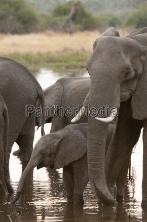 african elephant loxodonta africana okavango delta