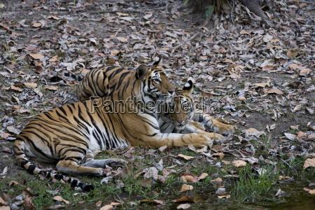 indian tigress bengal tiger panthera tigris