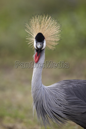grey crowned crane southern crowned crane