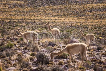 vicuna vicugna vicugna camelids grazing on