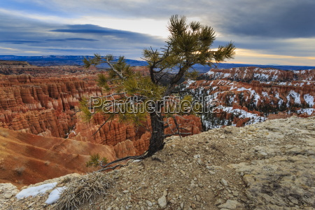 rim tree and hoodoos with a