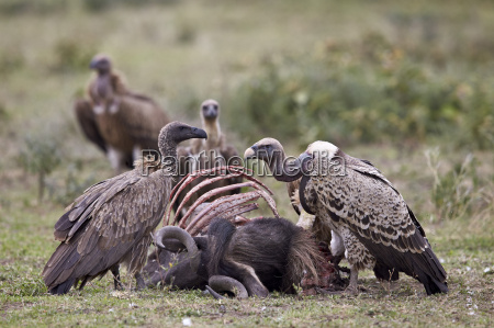 ruppells griffon vulture gyps rueppellii adult