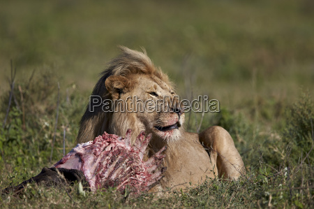 lion panthera leo at a wildebeest