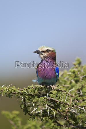 lilac breasted roller coracias caudata ngorongoro