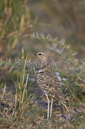 two banded courser double banded courser