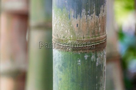 bamboo with beetle eggs
