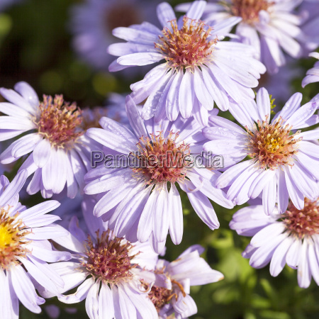 autumn flowers of lilac aster in