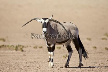 gemsbok south african oryx oryx gazella