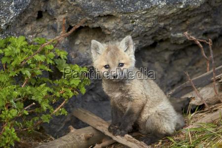 red fox vulpes vulpes vulpes fulva