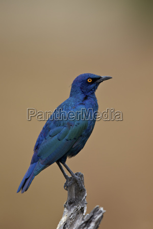 greater blue eared glossy starling lamprotornis