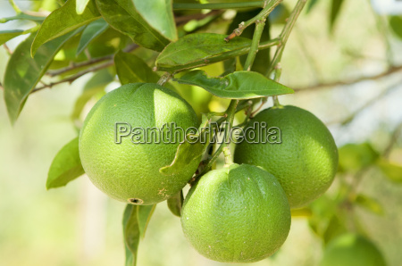 limes ripening on the tree corfu