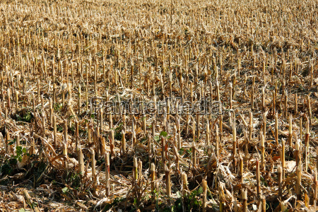 harvested corn field in bright sunshine