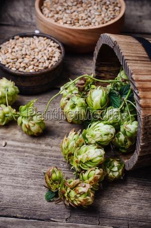 autumn hop harvest