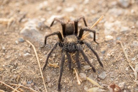 tarantula aphonopelma santa clara county