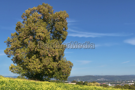 my linden tree