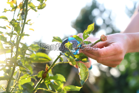 cutting the rose canes care work