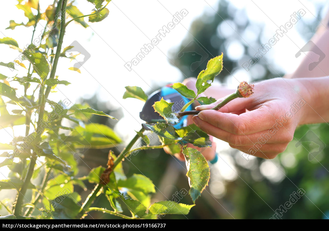 cutting, the, rose, canes., care, work - 19166737