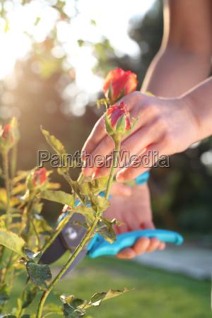 grandiflora, rose, trimming. - 19166745