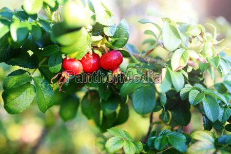 rose hip fruits