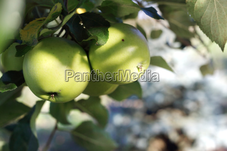 apple orchard ecological cultivation of apples