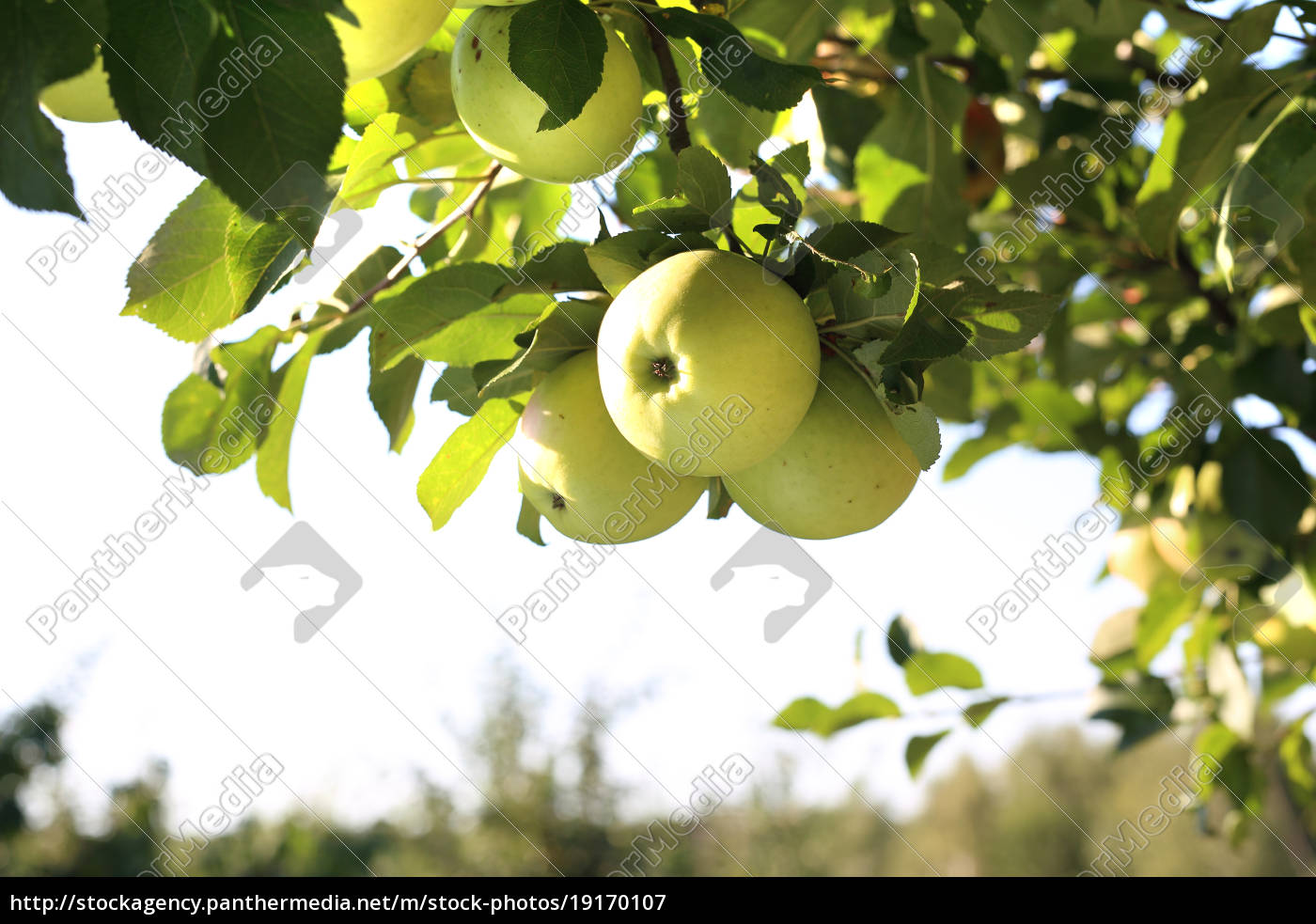 apple, orchard., organic, growing, of, apples. - 19170107