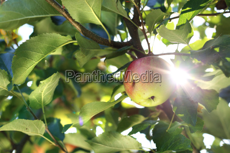 apple, orchard., organic, growing, of, apples. - 19170117