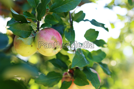 apple, orchard., organic, growing, of, apples. - 19170125