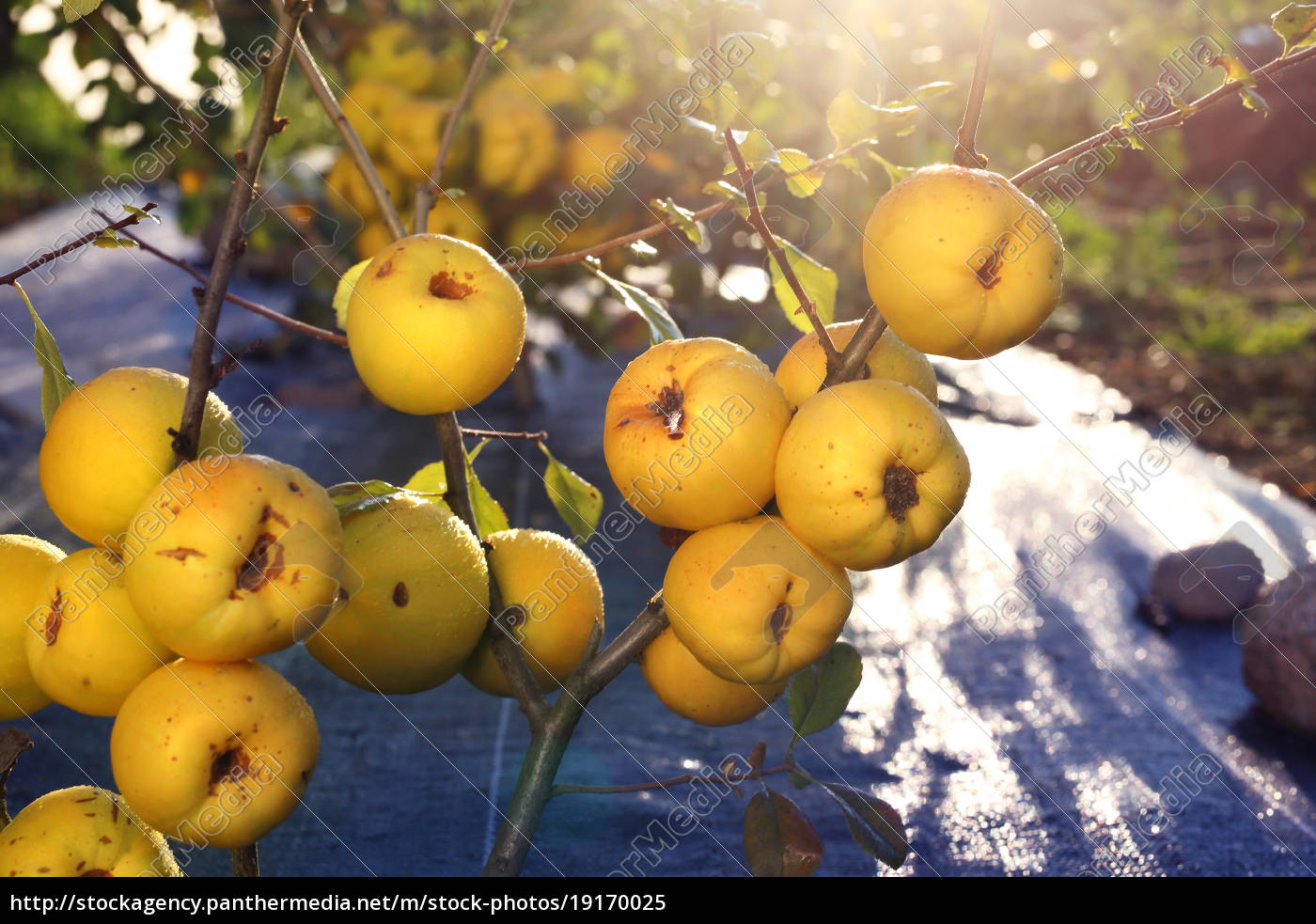 fruiting, quince, bush. - 19170025