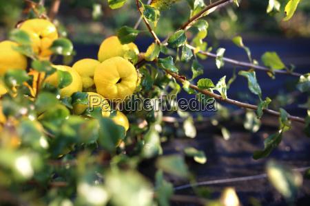fruiting, quince, bush. - 19170035