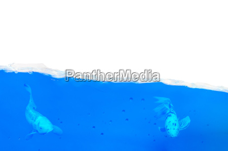 two fish swimming in an aquarium