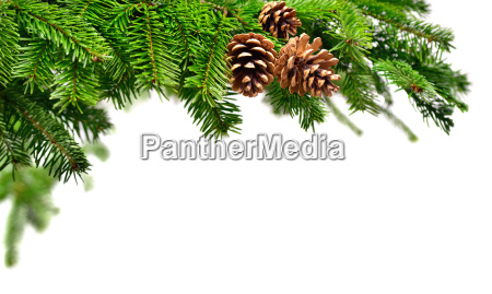 fresh fir branches with pine cones