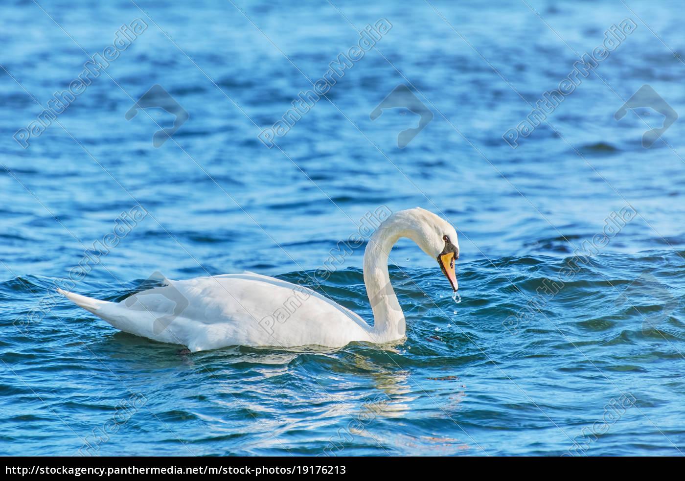 white, swan, on, black, sea - 19176213