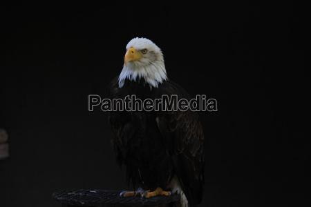 white headed eagle heraldic bird of