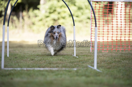dog shetland sheepdog training hoopers