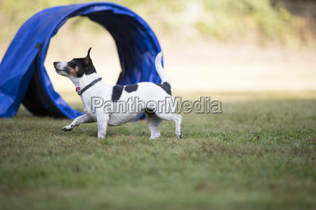 dog jack russell terrier agility
