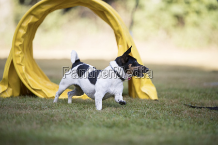 dog jack russell terrier running through