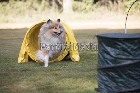 dog scottish collie running agility tunnel