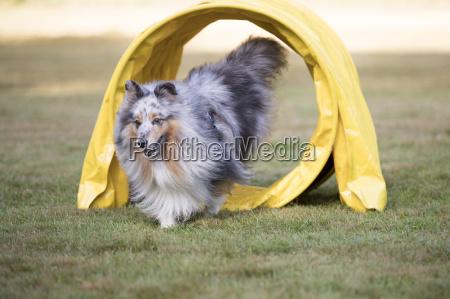 dog shetland sheepdog sheltie running through