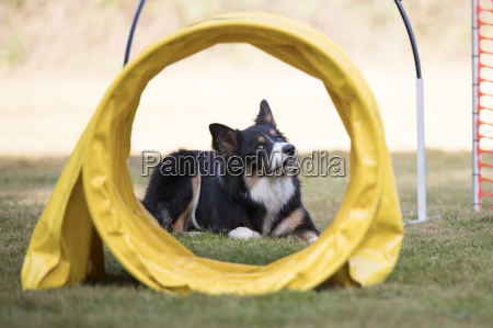 dog border collie training hoopers