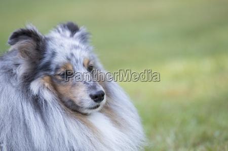 dog shetland sheepdog headshot
