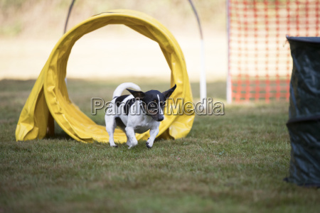 dog jack russell terrier training hoopers