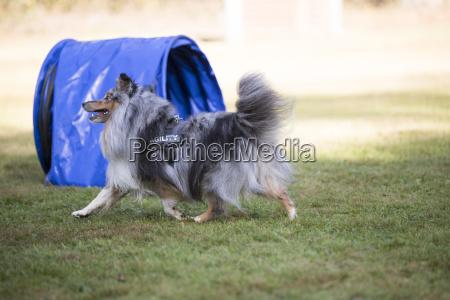 dog shetland sheepdog agility
