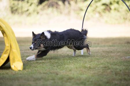 dog border collie running in hooper