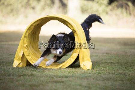 dog border collie running through agility