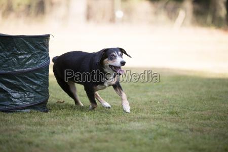 appenzeller mountain dog running