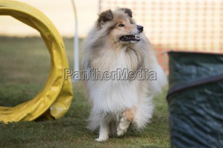 dog scotch collie training hoopers