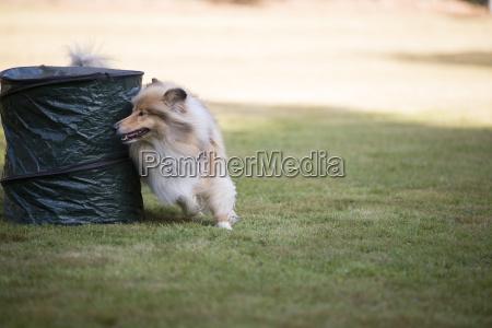 dog scottish collie training hoopers