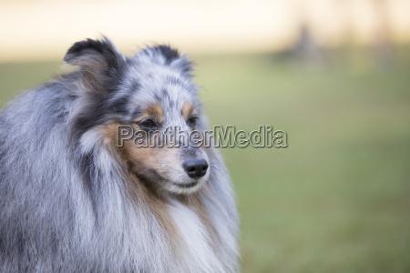 headshot of a shetland sheepdog